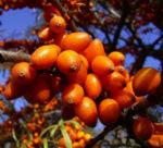 Sanddorn Frucht orange Hippophae rhamnoides 57 35