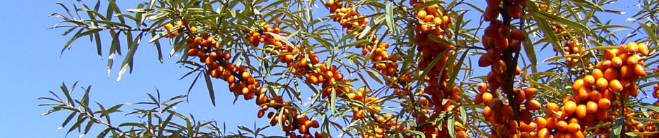 sanddorn-frucht-orange-hippophae-rhamnoides