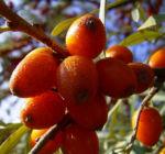 Sanddorn Frucht orange Hippophae rhamnoides 57 40