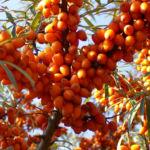Sanddorn Frucht orange Hippophae rhamnoides 57 43