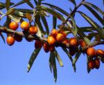 Sanddorn Frucht orange Hippophae rhamnoides 57 44
