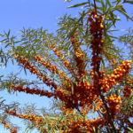 Sanddorn Frucht Hippophae rhamnoides 03