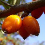Sanddorn Frucht Hippophae rhamnoides 05