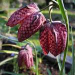 Schachbrettblume Bluete rot braun Fritillaria meleagris 05