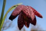 Schachbrettblume Bluete rot braun Fritillaria meleagris 10
