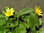 Scharbockskraut Bluete gelb Ranunculus ficaria 03