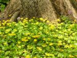Scharbockskraut Bluete gelb Ranunculus ficaria 05