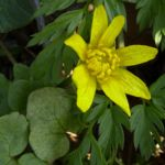 Scharbockskraut Bluete Ranunculus ficaria 11