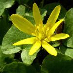 Scharbockskraut Ranunculus ficaria 04