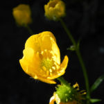 Scharfer Hahnenfuss Bluete gelb Ranunculus acris 24