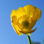 Scharfer Hahnenfuss Bluete gelb Ranunculus acris 28