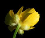 Bild:  Scharfer Hahnenfuß Blatt grün Ranunculus acris