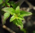 Scharlach Fuchsie Strauch Blatt gruen Fuchsia magellanica 02