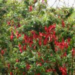 Scharlach Fuchsie Strauch Fuchsia magellanica 04