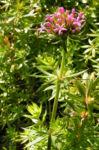 Scheinbaldrian Bluete pink Phuopsis stylosa 03
