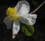 Scheinparrotie Bluete weiss Parrotiopsis jaquemontiana 27