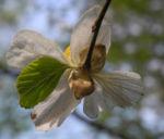 Scheinparrotie Bluete weiss Parrotiopsis jaquemontiana 28