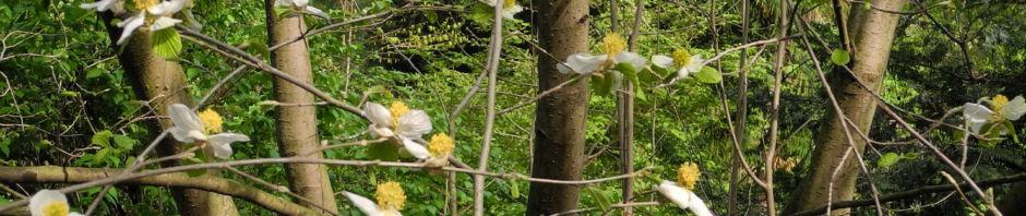 scheinparrotie-bluete-weiss-parrotiopsis-jaquemontiana