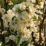 Scheinquitte Zierquitte weiss Chaenomeles speciosa 06