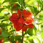 Scheinquitte Zierquitte Blüten rot Chaenomeles japonica 05