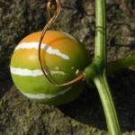 Scheinzaunruebe Frucht rot weiß Diplocyclos palmatus 05