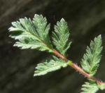 Schierlings Reiherschnabel Blatt Staengel gruen Erodium cicutarium 06