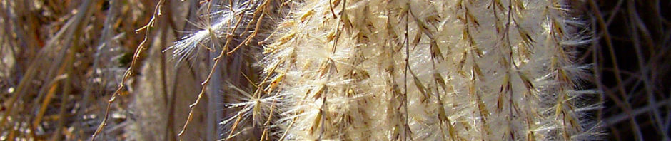 schilfrohr-samenrispe-silbrig-phragmites-australis