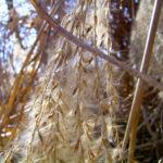 Schilff Samenrispe silbrig Phragmites australis 05