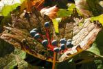 Schirmblatt Beere blau Diphylleia cymosa 02