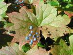 Schirmblatt Beere blau Diphylleia cymosa 09