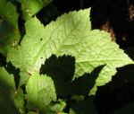 Schlangenwurz Bluetendolden weiss Cimicifuga rubifolia 05