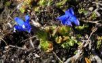 Schlauch Enzian Bluete blau Gentiana utriculosa 05