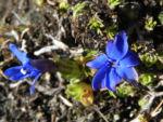 Bild:  Schlauch-Enzian Blüte blau Gentiana utriculosa