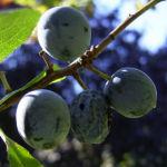 Schlehe Frucht Prunus spinosa 02