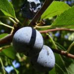 Schlehe Frucht Prunus spinosa 03