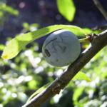 Schlehe Frucht Prunus spinosa 04