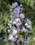 Schlehe Schwarzdorn Bluete weiss Prunus spinosa 12