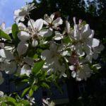 Schlehe Schwarzdorn Bluete Prunus spinosa 01