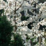 Schlehe Prunus spinosa 30