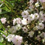 Schleierkraut Bluete weiss Gypsophila pacifica 02