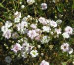 Schleierkraut Bluete weiss Gypsophila pacifica 03