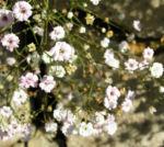 Schleierkraut Bluete weiss Gypsophila pacifica 05