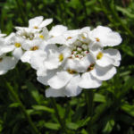 Schleifenblume Bluete schneeweiss Iberis sempervirens 03