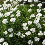 Schleifenblume Bluete schneeweiss Iberis sempervirens 04