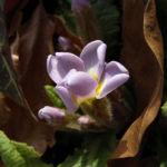 Schluesselblume staengellos Primula vulgaris 02