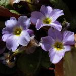 Schluesselblume staengellos Primula vulgaris 04