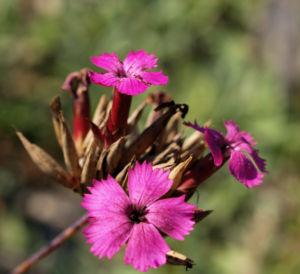 Schmalblaettrige Riesen Nelke Bluete pink Dianthus giganteus 03