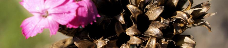 Anklicken um das ganze Bild zu sehen  Schmalblättrige Riesen-Nelke Blüte pink Dianthus giganteus