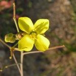 Schmalblaettriger Doppelsame Bluete gelb Diplotaxis tenuifolia 02