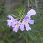 Schmalblättriger Minzstrauch Blüte lila Prostanthera linearis 05
